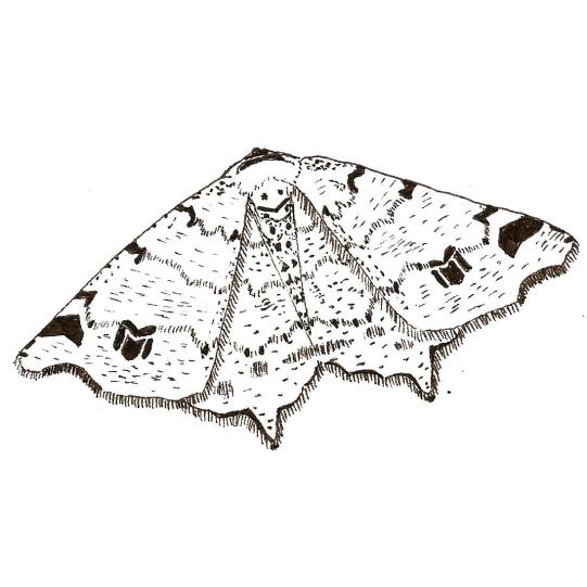 Peacock moth square