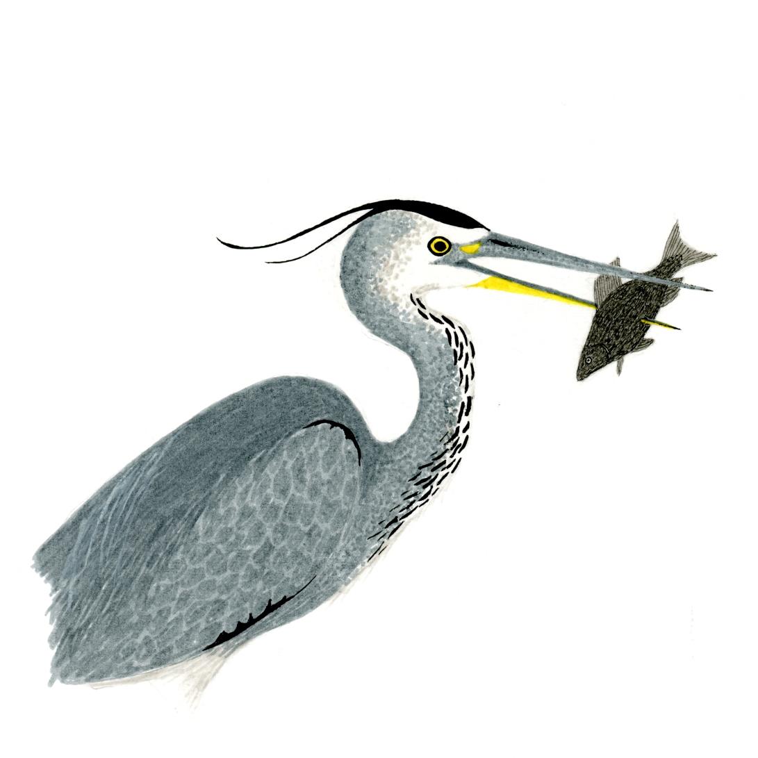 Grey heron square